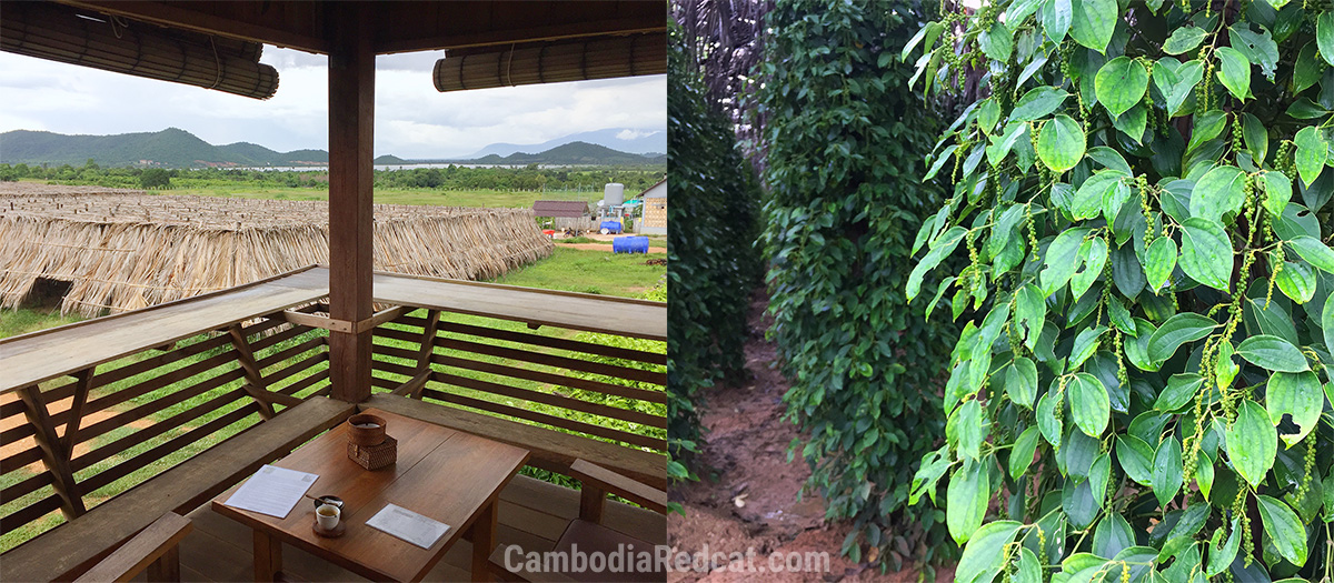 Kampot Pepper Farm